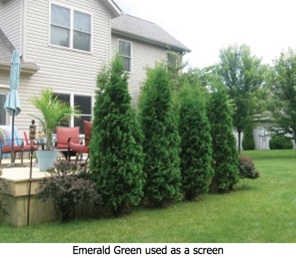 emerald green arborvitae planting instructions